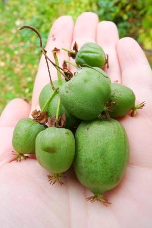 Kiwi Actinidia arguta 'Issai' Gargul Gaj Gartex