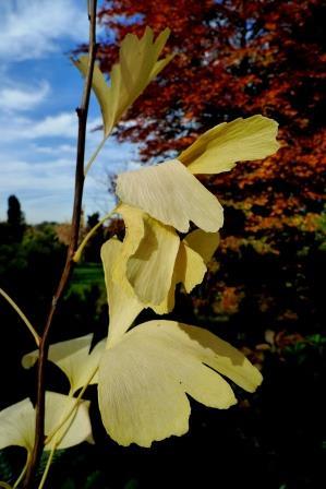 Miłorząb - ginko i żółte flawonoidy