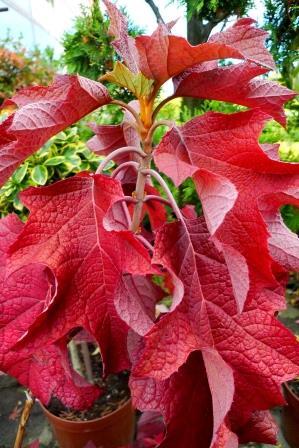 Hydrangea quercifolia i bordo antocyjany